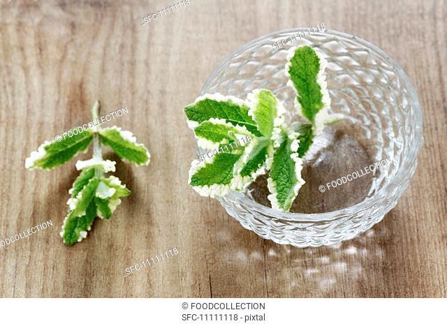 Fresh pineapple mint Mentha suaveolens variegata