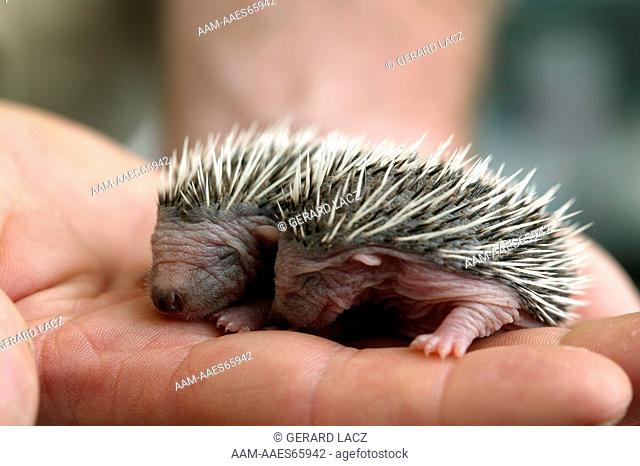 European Hedgehog, erinaceus europaeus, Babies rescued at 'la Dame Blanche', Animal Protection Center in Normandy