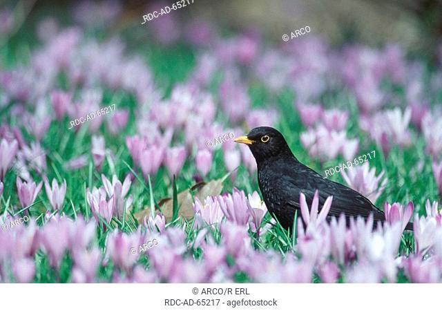 Blackbird male Schleswig-Holstein Germany Turdus merula