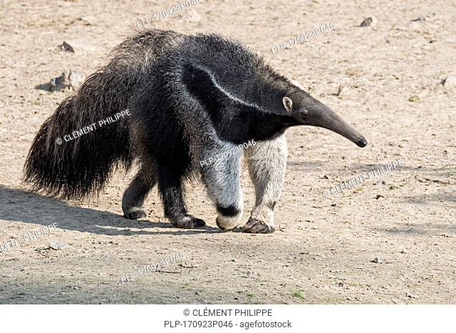 Giant anteater / ant bear (Myrmecophaga tridactyla) insectivore native to Central and South America