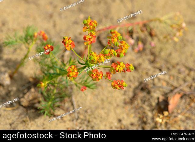 Euphorbia cyparissias, the cypress spurge. Zypressen-Wolfsmilch (Euphorbia cyparissias)