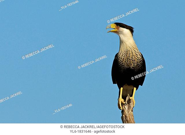 A crested caracara calls from his perch on a tree