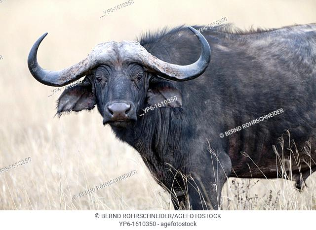 portrait of an African Buffalo Syncerus caffer, Ngorongoro Crater, Tanzania