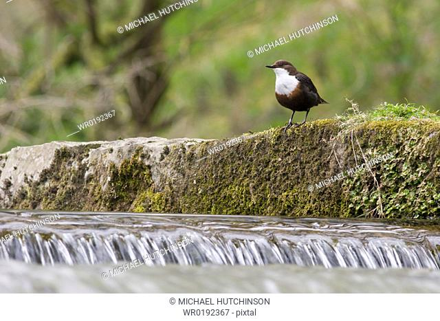 Dipper Cinclus cinclusby waterfall, Derbyshire, UK
