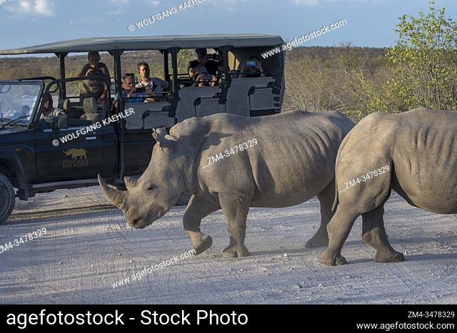White rhinoceroses or square-lipped rhinoceros (Ceratotherium simum) crossing a road in the Ongava Game Reserve, south of the Etosha National Park in...