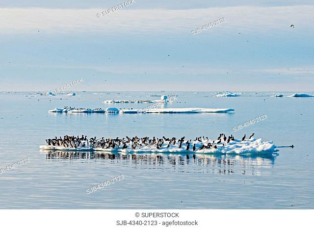 Brunnich's guillemots Uria lomvia flock resting on an ice floe off the coast of Svalbard, Norway, in summertime