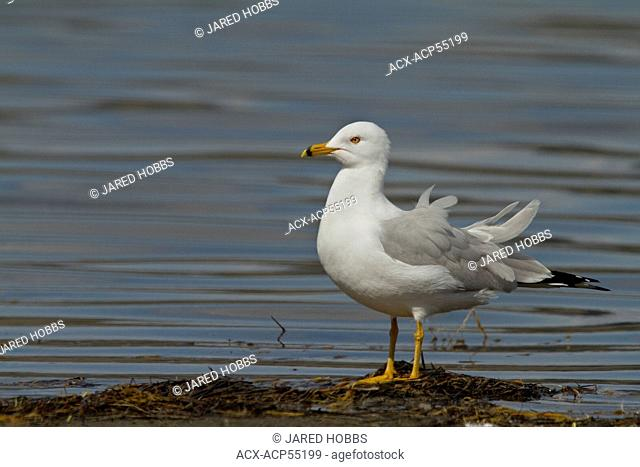 Ring-billed Gull, Larus delawarensis, Washington, USA