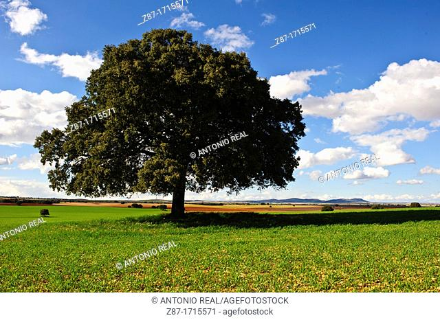Encina Quercus ilex y campo verde de cereal  Bonete  Albacete
