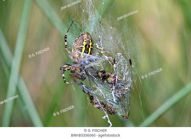 black-and-yellow argiope, black-and-yellow garden spider (Argiope bruennichi), with prey, Switzerland, Versoix