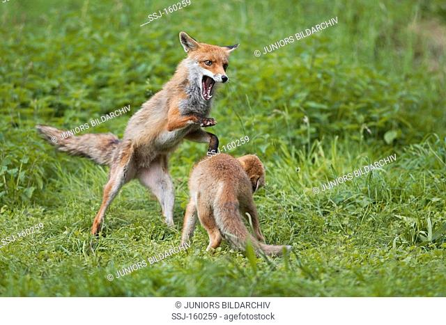 two Red Foxes - fighting / Vulpes Vulpes