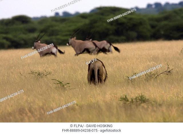 male lion hunting Gemsbok