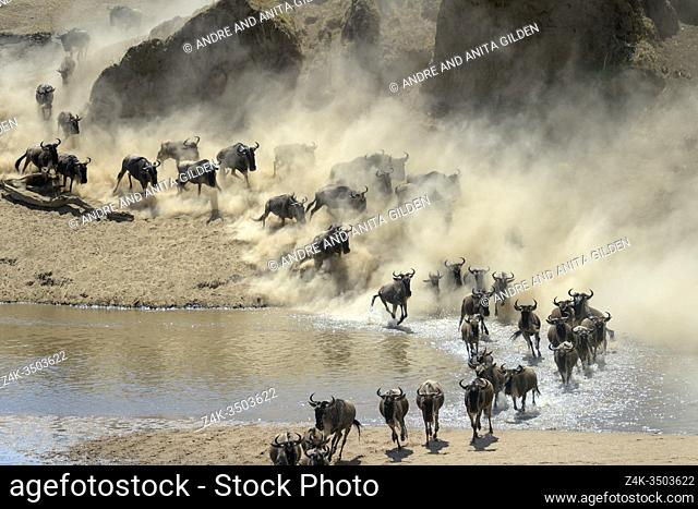 Blue wildebeest, brindled gnu (Connochaetes taurinus) herd crossing the Mara river during the great migration, Serengeti national park, Tanzania