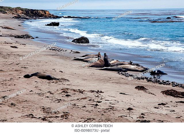 Elephant seals lying on beach, San Simeon, California, USA