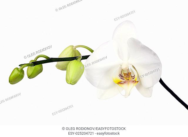 Two day old white orchid isolated on white background. Closeup
