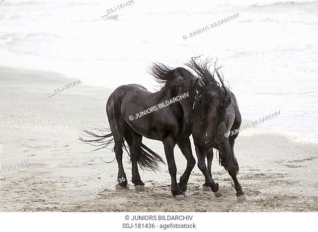 Friesian Horse. Two stallions playfighting on a beach, Romania