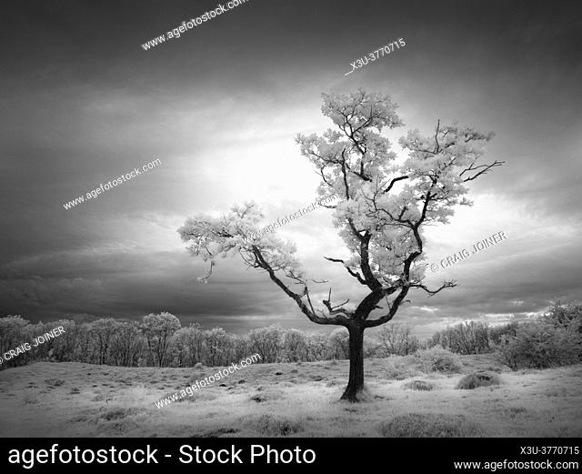 A small oak tree on at Dolebury Warren in the Mendip Hills in infrared