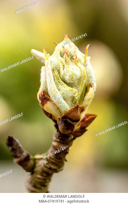 Pear tree blossom, buds in spring