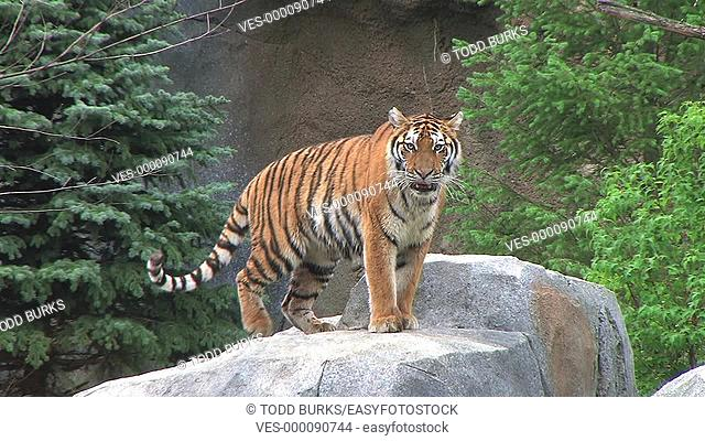 Tiger walks around and lays down