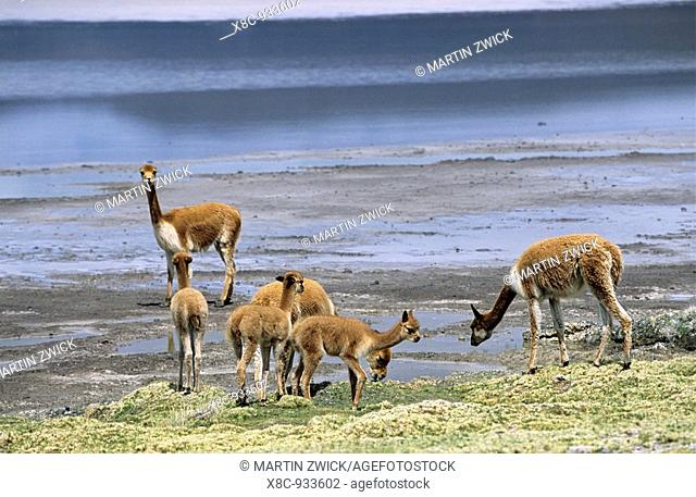 Vicuna Vicugna vicugna, Altiplano, Chile  herd at the edge of the salt lake salar de surire Vicuna are living in the cold Altiplano of the Andes Mountains...