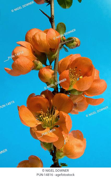 Close-up abstract of a Japanese quince Chaenomeles japonica set against a blue background in a Norfolk garden