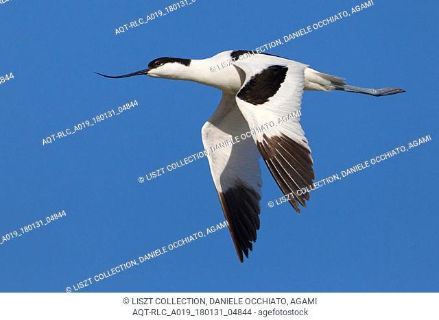 Pied Avocet in flight, Pied Avocet, Recurvirostra avosetta