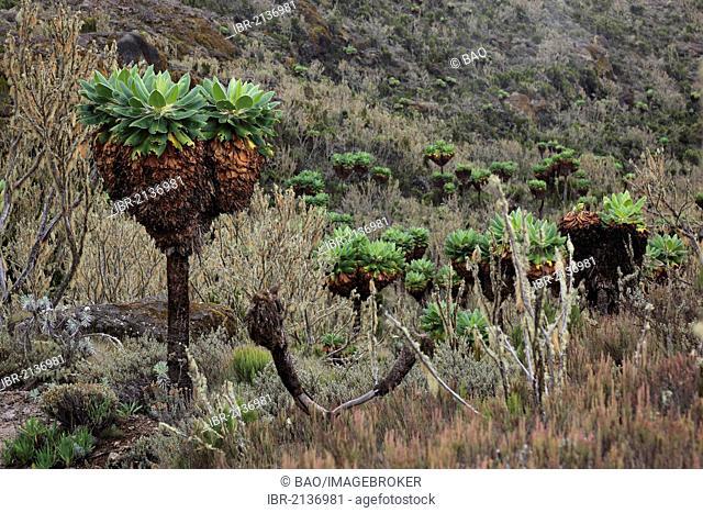 Giant Groundsel (Dendrosenecio kilimanjari), growth up to about 4500 m altitude on Mount Kilimanjaro, Tanzania, Africa