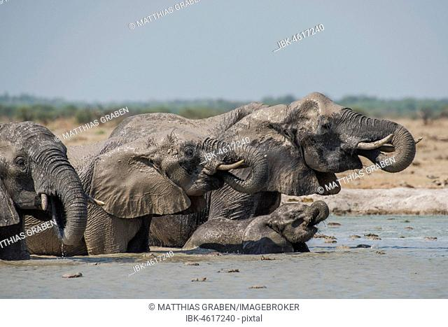 African elephants (Loxodonta africana), elephants with young animal drinking in a waterhole, Nxai Pan National Park, Ngamiland District, Botswana
