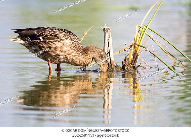 Mallard (Anas platyrhynchos) adult female on water. Ebro Delta Natural Park. Catalonia. Spain