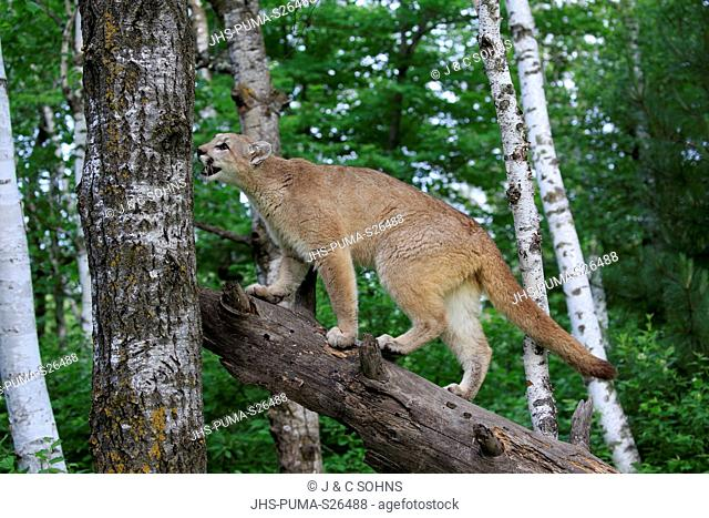 Mountain Lion, cougar, puma, (Felis concolor), young adult alert stalking on tree trunk, Pine County, Minnesota, USA, North America