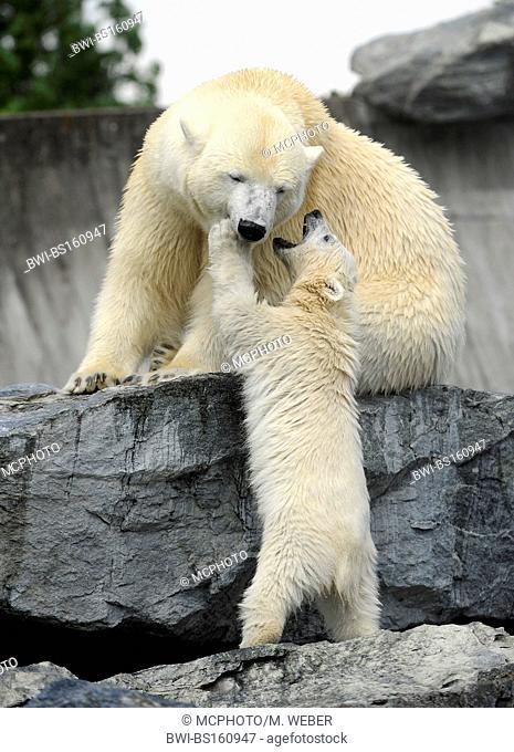 polar bear (Ursus maritimus), pup with its' mother