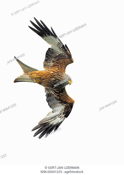 Red Kite (Milvus milvus) in flight against a white background, Germany, Eifel
