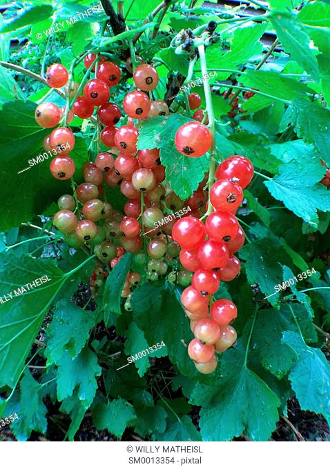 red currant growing on bush, Bavaria, Germany, Europe