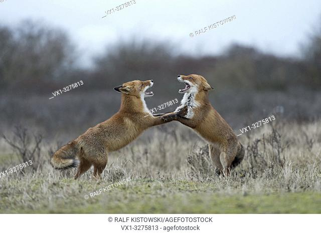 Red Foxes ( Vulpes vulpes ) in fight, fighting, standing on hind legs, threatening with wide open jaws, while rutting season.