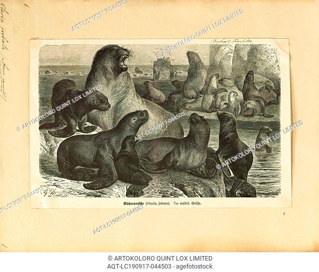 Otaria jubata, Print, South American sea lion, The South American sea lion (Otaria flavescens, formerly Otaria byronia), also called the Southern Sea Lion and...
