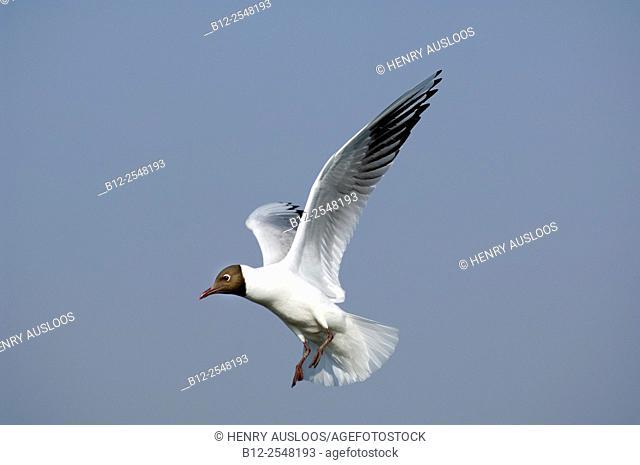 Black-headed Gull (Chroicocephalus ridibundus), flight, France