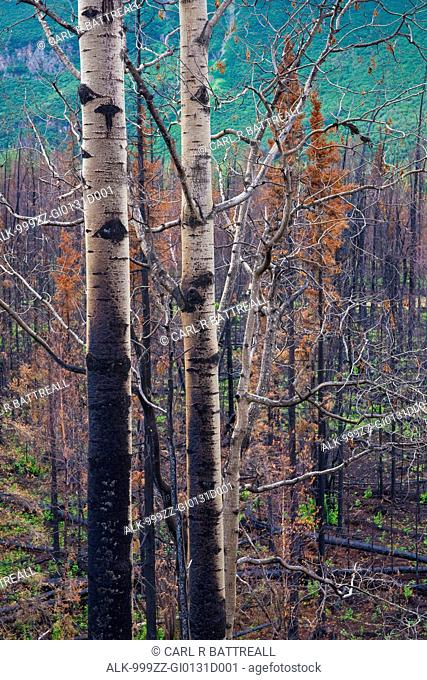 View of burnt trees from the Eklutna Lake Fire, Chugach State Park, Southcentral Alaska, Autumn