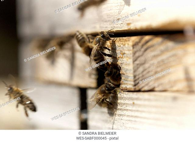 Honeybees in front of hive entrance
