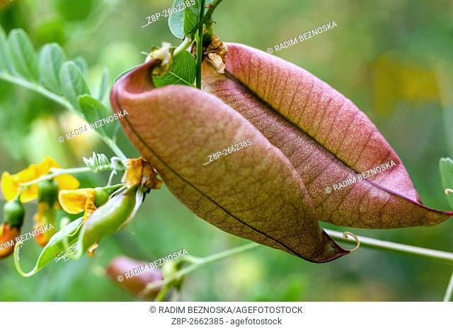 Bladder Senna Colutea arborescens fruting shrub