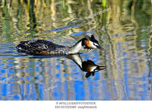 Great crested grebe (Podiceps cristatus) in attack position, Netherlands