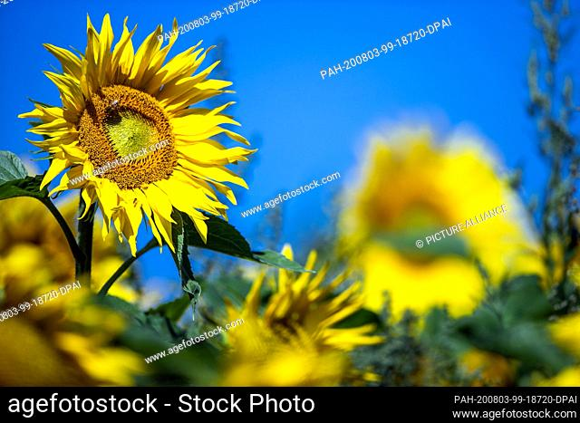 31 July 2020, Mecklenburg-Western Pomerania, Finkenthal: Sunflowers bloom on one of the fields of the Fürstenhof producer association