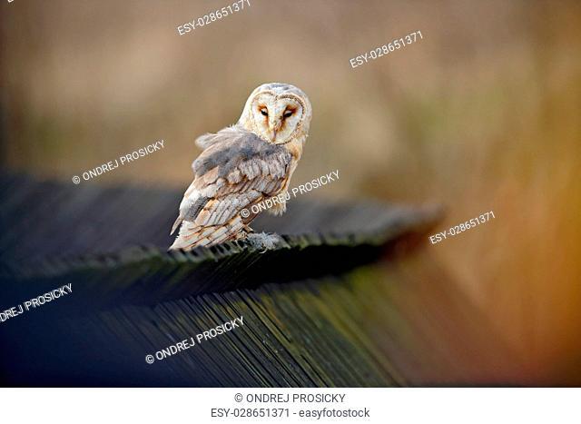 Barn owl, Tyto alba, sitting on wooden roof, Czech Republic