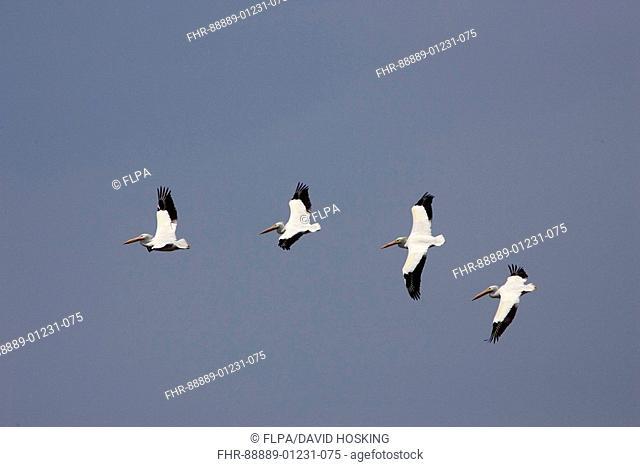 American white Pelicans, Pelecanus erythrorhynchos, flying