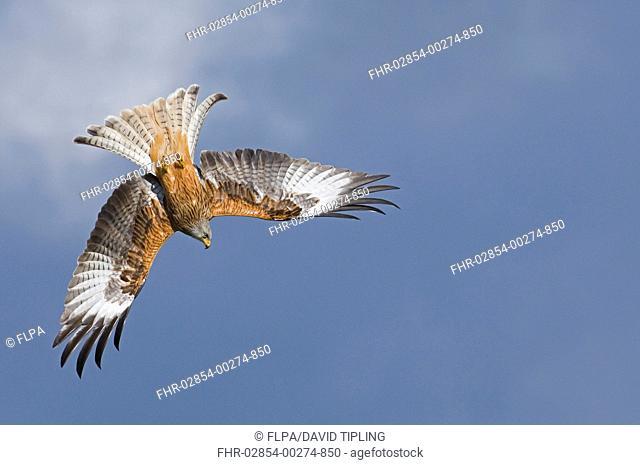 Red Kite Milvus milvus adult, in flight, Ceredigion, Wales, march
