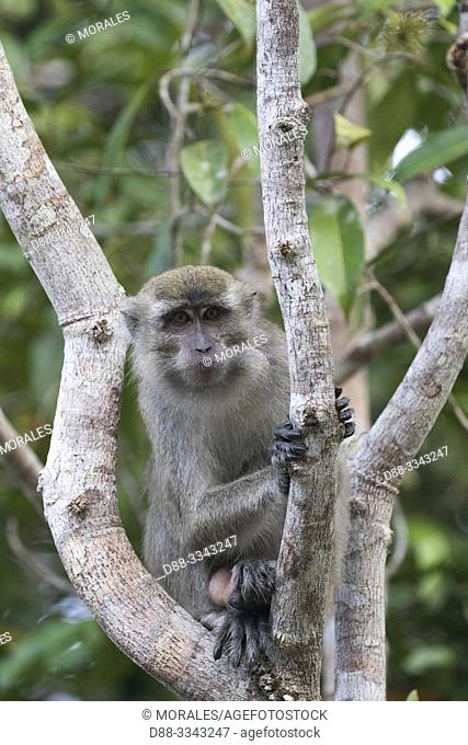 Asia, Indonesia, Borneo, Tanjung Puting National Park, Crab-eating macaque or long-tailed macaque (Macaca fascicularis), in a tree near by the water