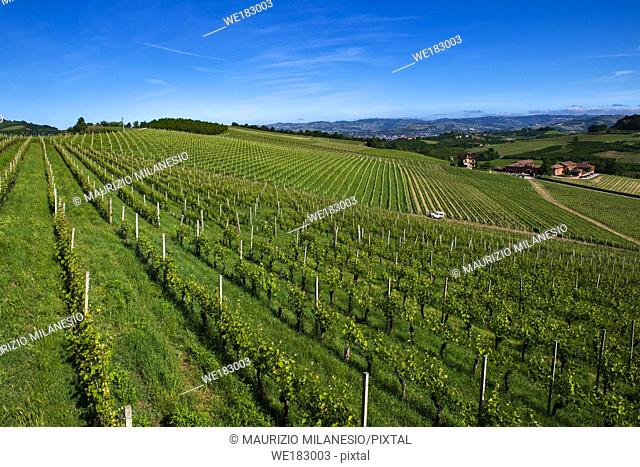 Green and lush vineyards on the beautiful hills in the Roero Piobesi d'Alba area of Piedmont Italy, the sky is clear and blue