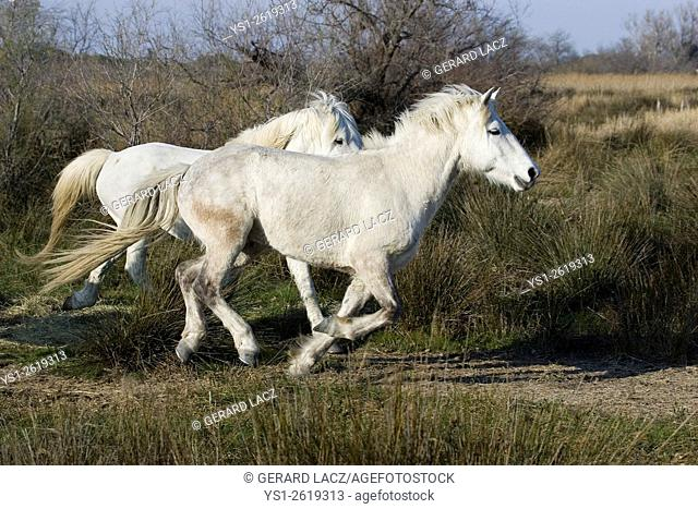 Camargue Horse, Pair Galloping, Saintes Maries de la Mer in the South East of France