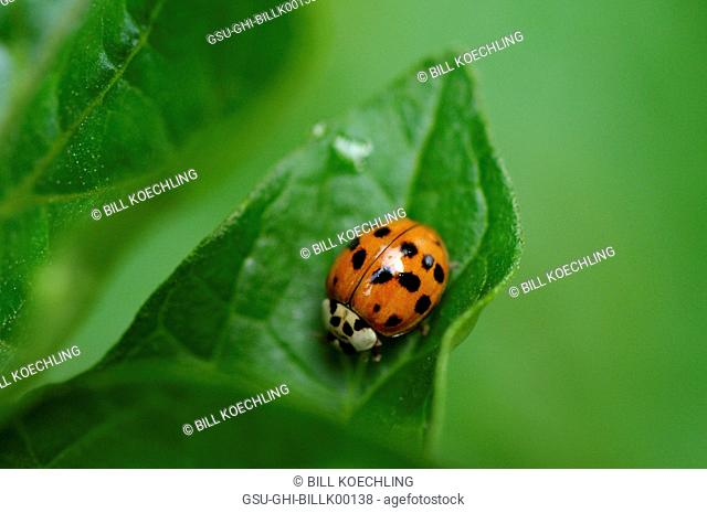 Multicolored Asian Lady Beetle on Leaf, Close-Up