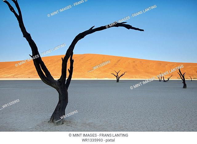 Dead camelthorn trees, Acacia erioloba, in the Dead Vlei at Sossusvlei in Namib-Naukluft National Park, Namibia