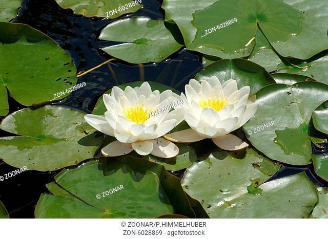 Nymphaea alba, Weiߟe Seerose, White waterlily