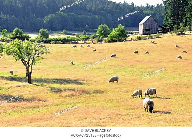 Sheep grazing at Ruckle Provincial Park on Saltspring Island, BC